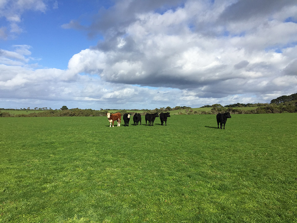 Beef farming agronomy - cattle in field