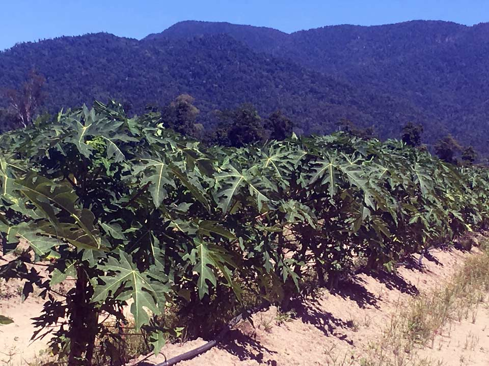 Papaya in FNQ