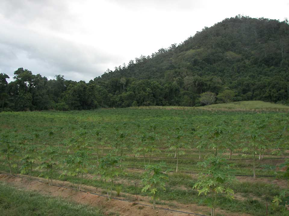 Papaya crop