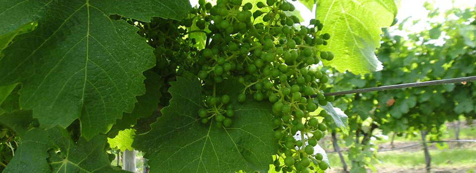Table grape agronomy